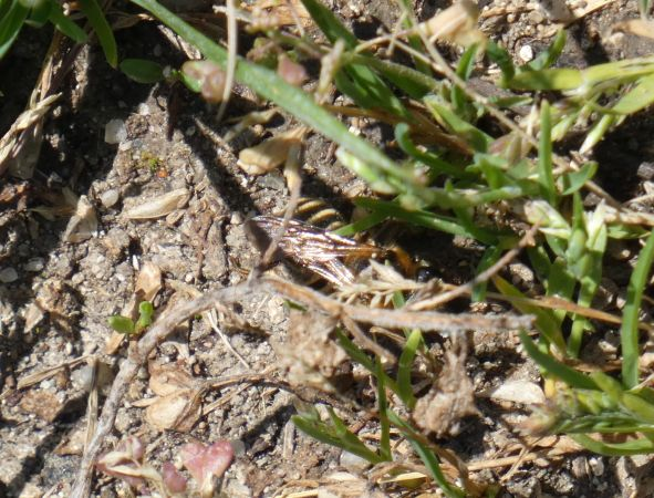 Andrena sp.  - Pascal Beze