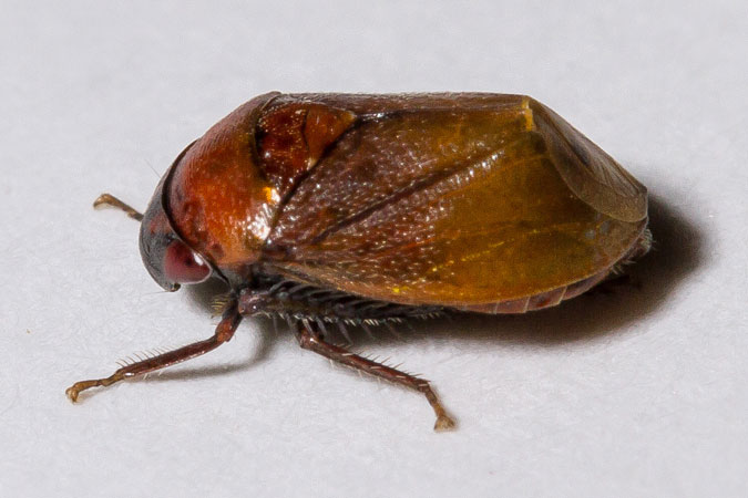 Penthimia nigra  - Jean-Claude Lablanquie