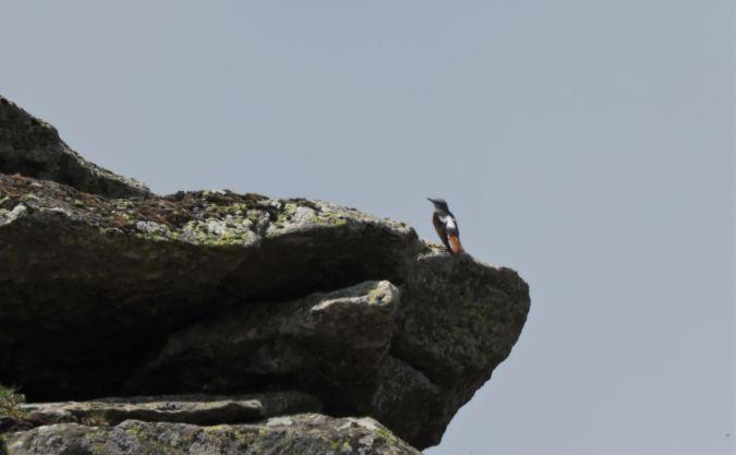 Monticole de roche  - Bernard Mergnat