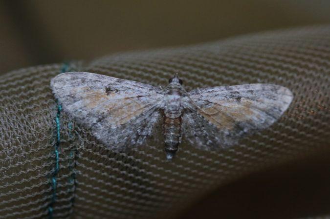 Eupithecia icterata  - Patrice Rousteau
