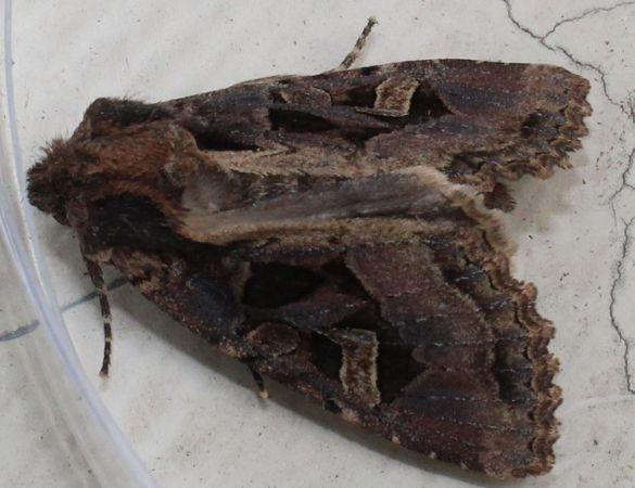 Trigonophora flammea  - Jean-Jacques Lallemant