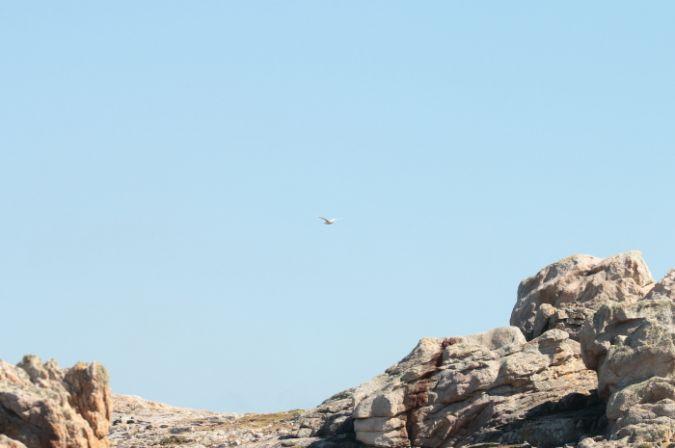 Goéland à ailes blanches  - Vincent Dourlens