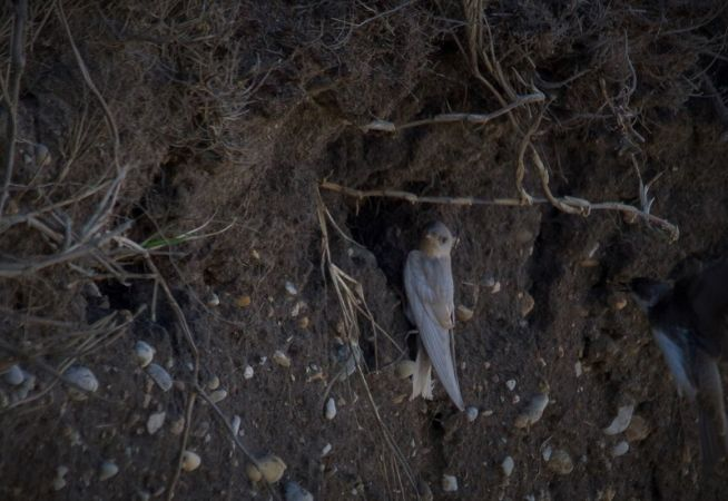 Hirondelle de rivage  - Davy Bosman