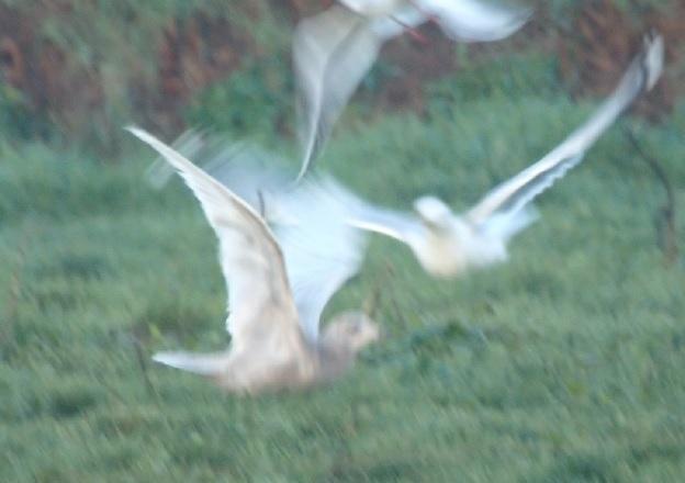 Goéland à ailes blanches  - Bastien Louboutin