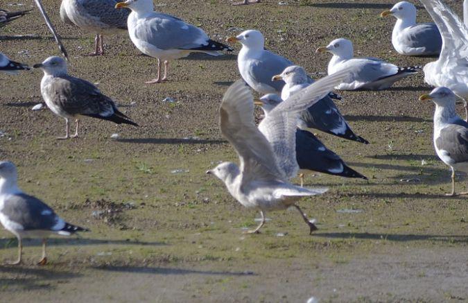 Goéland à ailes blanches  - Yves Blat