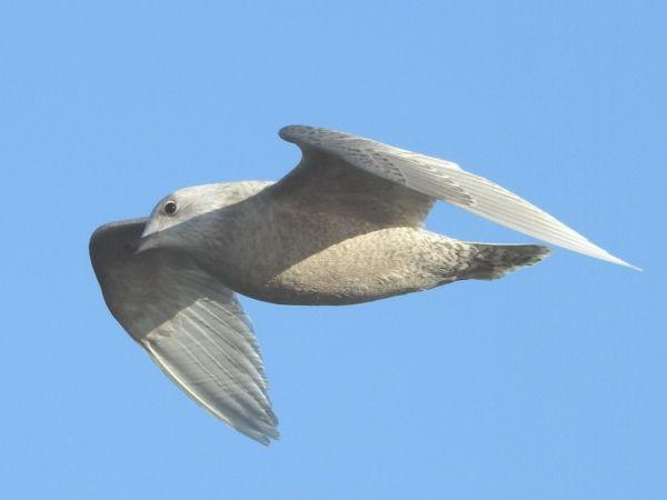 Goéland à ailes blanches  - Yvon Créau