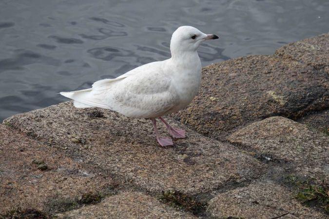 Goéland à ailes blanches  - Pierre Le Maréchal
