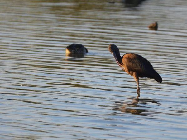 Ibis falcinelle  - Philippe Ricaud