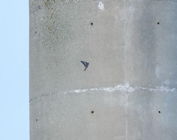 Hirondelle de rochers  - Michel Tanneau