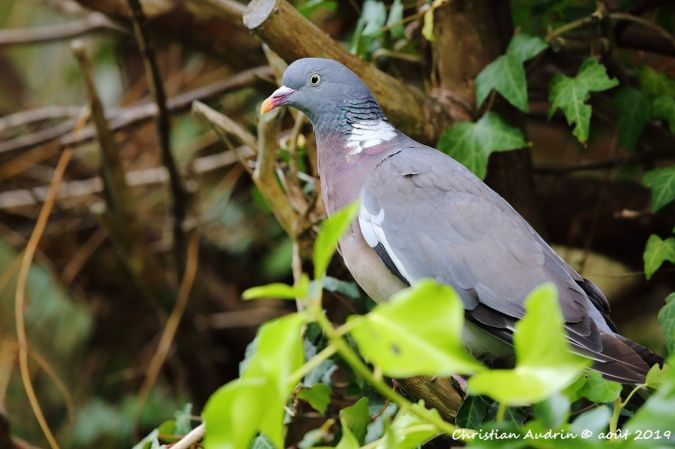 Pigeon ramier  - Christian Audrin