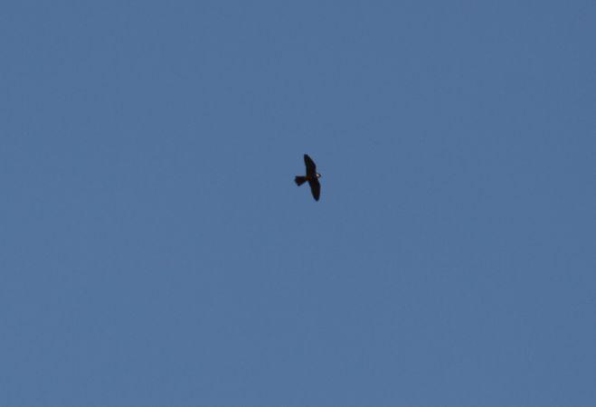 Faucon hobereau  - Erwan Uguen