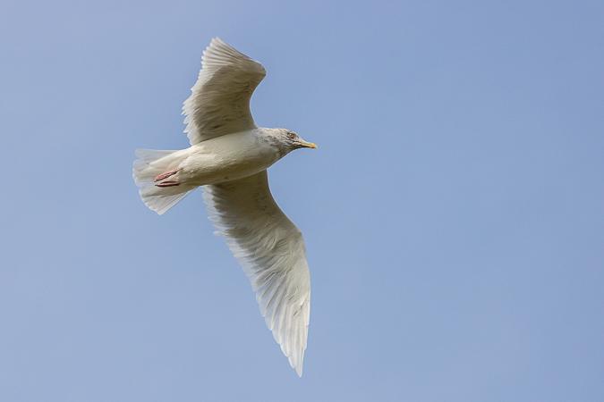 Goéland à ailes blanches  - Erwan Leneveu