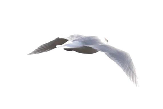 Goéland à ailes blanches  - Sylvain Reyt