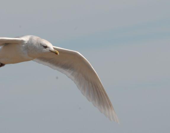 Goéland à ailes blanches  - Thierry Le Roux