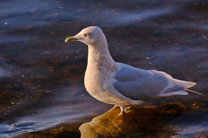 Goéland à ailes blanches  - Michel Tanneau