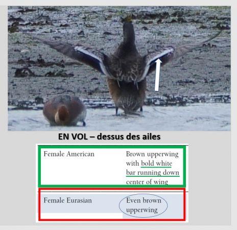 Canard à front blanc  - Didier Godreau