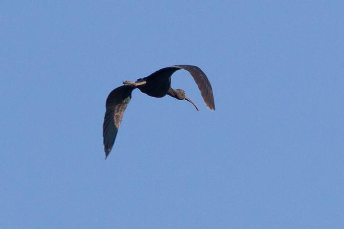 Ibis falcinelle  - Yannick Herremans