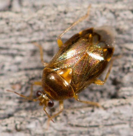 Deraeocoris (Knightocapsus) lutescens  - Luc Gizart(ReNArd)
