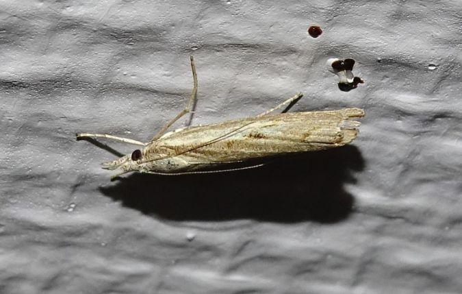Agriphila geniculea  - Emmanuel Le Roy