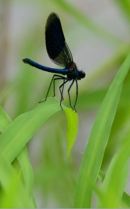 Caloptéryx éclatant  - Dominique et Franck Moinault