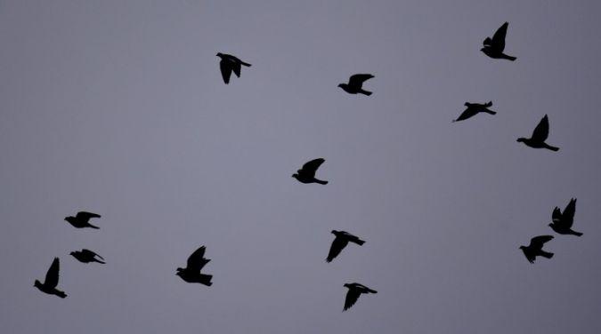 Pigeon ramier  - Dominique et Franck Moinault
