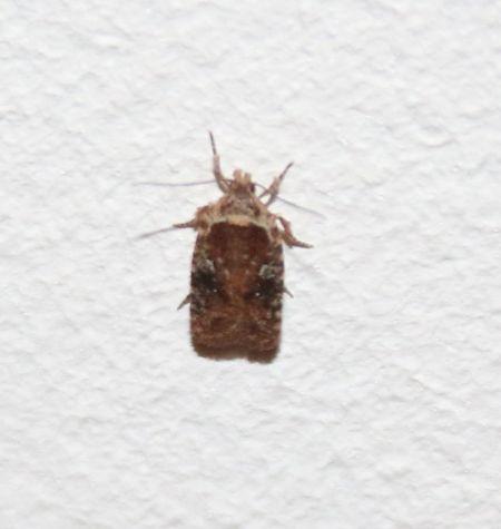 Agonopterix purpurea  - Graciane Lesage(ReNArd)