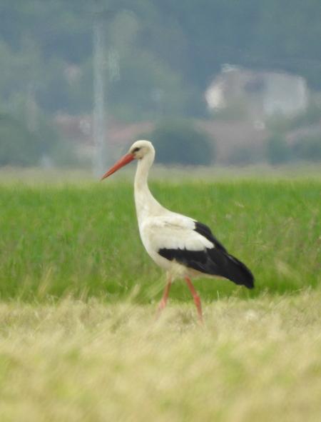 Cigogne blanche  - Vincent Ternois