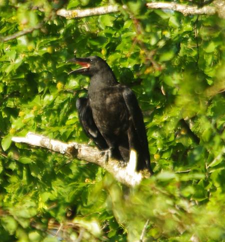 Grand Corbeau  - Jacky Winne(ReNArd)
