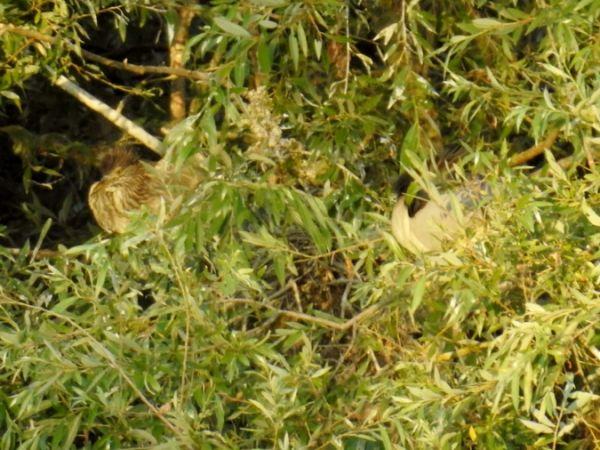 Bihoreau gris  - Coby Meester