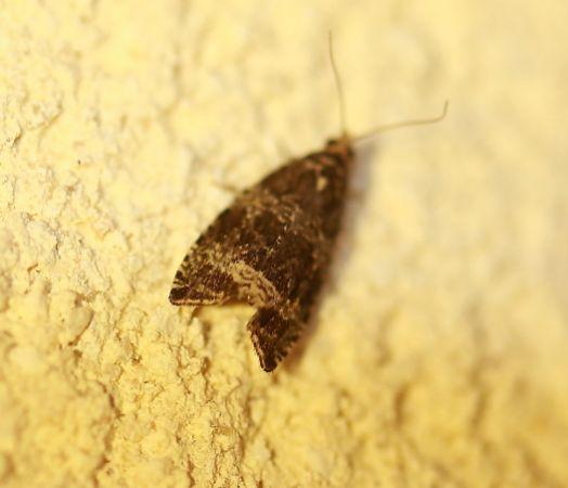 Celypha lacunana  - Christophe Durbecq(ReNArd)