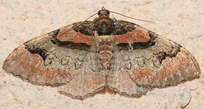Catarhoe rubidata