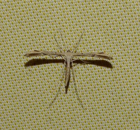 Emmelina monodactyla  - Emmanuel Le Roy