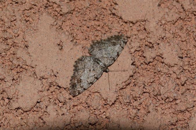 Aethalura punctulata  - Christophe Durbecq(ReNArd)