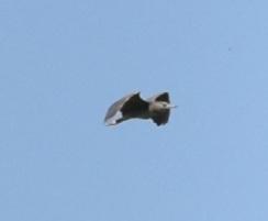 Bihoreau gris  - Gauthier Delmas