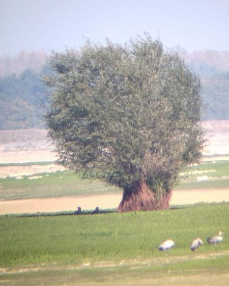 Pygargue à queue blanche  - Sven Normant