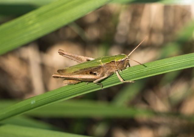 Criquet vert-échine (C. d. dorsatus)  - Claude Champarnaud