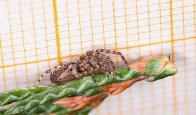 Segestria bavarica  - Claude Champarnaud