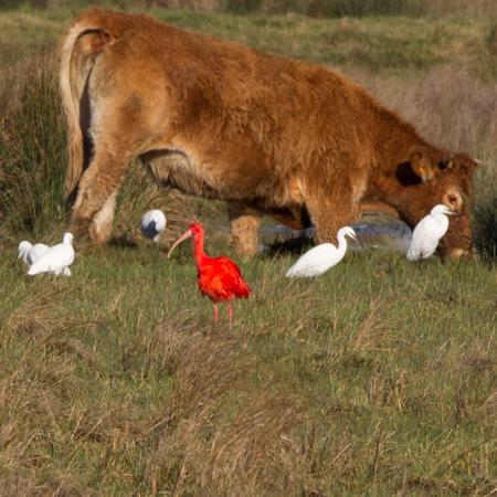 Ibis rouge  - François Corbineau