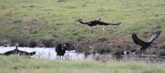 Ibis falcinelle  - Guy Arnaud
