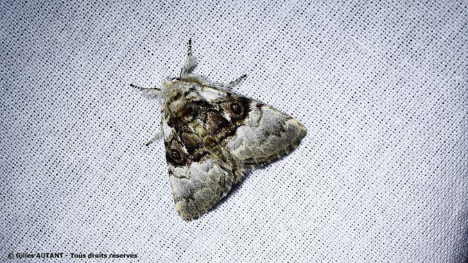 Colocasia coryli  - Gilles Autant