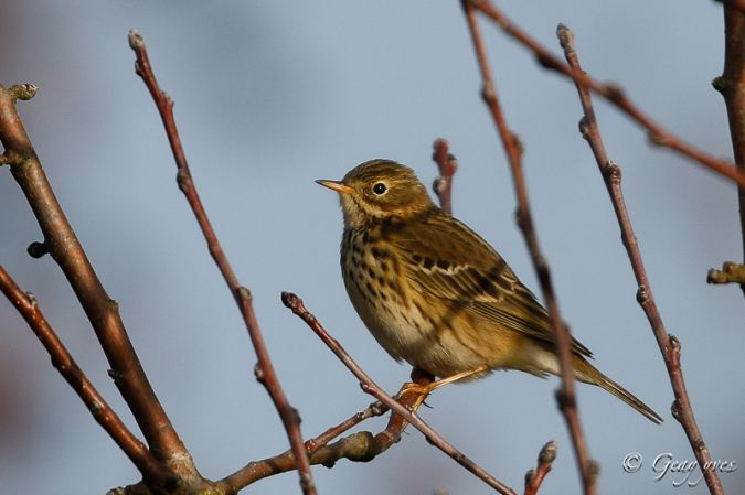 Pipit farlouse  - Yves Geay