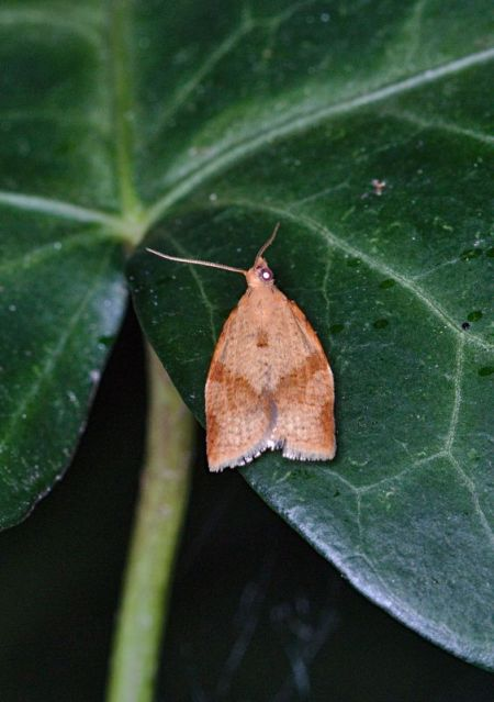 Clepsis consimilana  - Claude Champarnaud