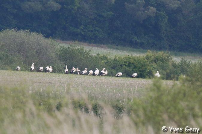 Cigogne blanche  - Yves Geay