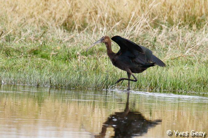 Ibis falcinelle  - Yves Geay