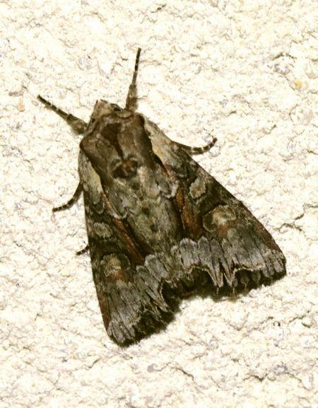 Lacanobia w-latinum  - Christophe Dufour