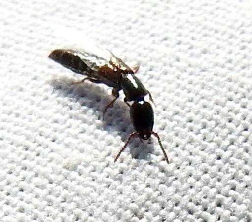Gauropterus fulgidus  - Dominique Ceylo