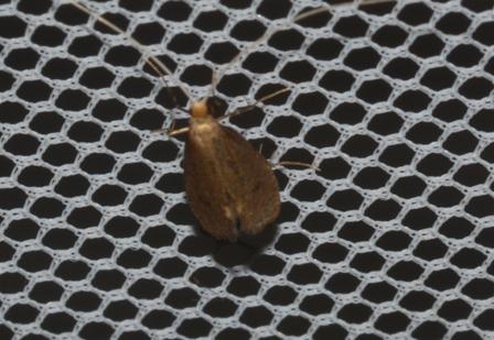 Nematopogon metaxella  - Ron & Hazel West