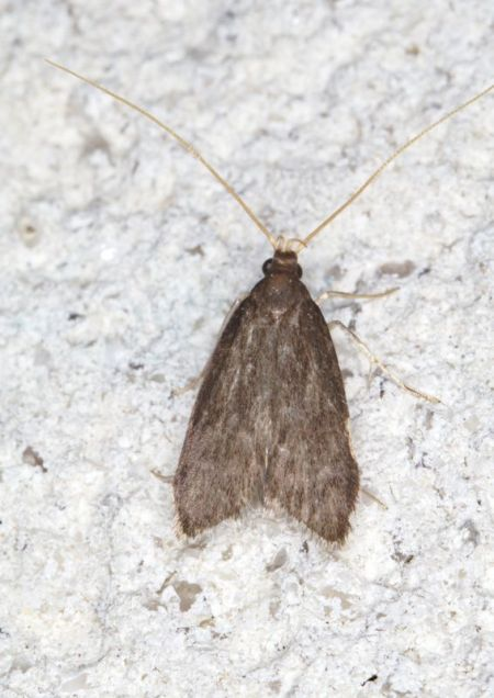 Homaloxestis briantiella  - Claude Champarnaud