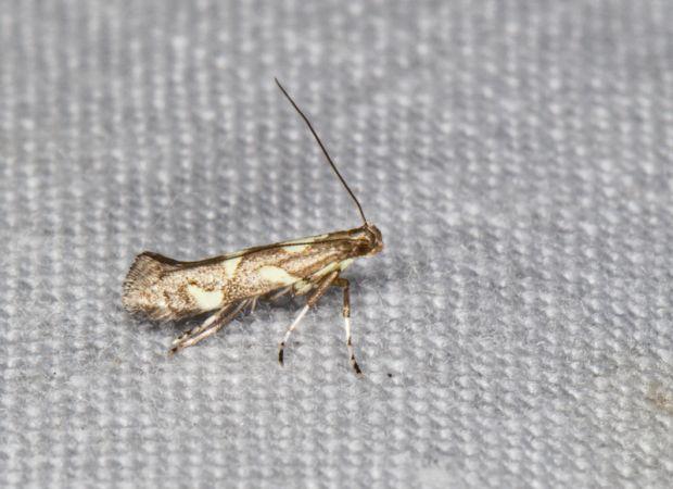 Eucalybites auroguttella  - Claude Champarnaud