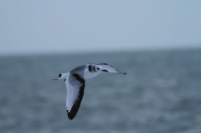 Mouette tridactyle  - Guy Arnaud